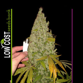 Catalize Skunk Low Cost