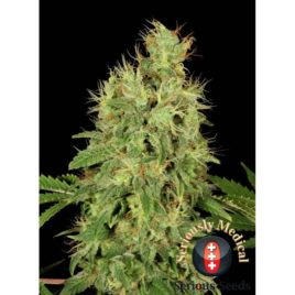 Chronic CBD Serious Seeds